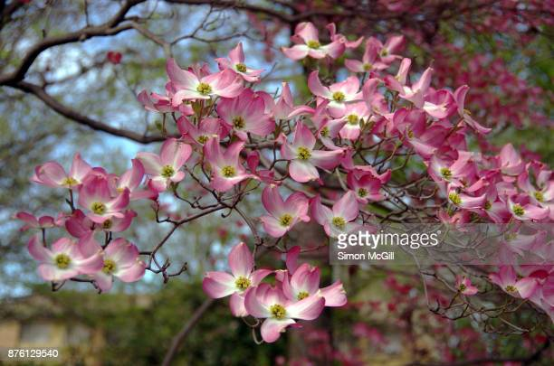 pink flowering dogwood (cornus florida) blooming in springtime - dogwood blossom stock pictures, royalty-free photos & images