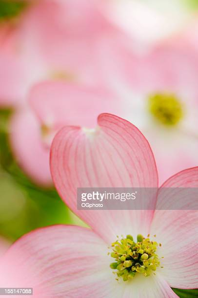 pink flowering dogwood blossoms - dogwood blossom stock pictures, royalty-free photos & images