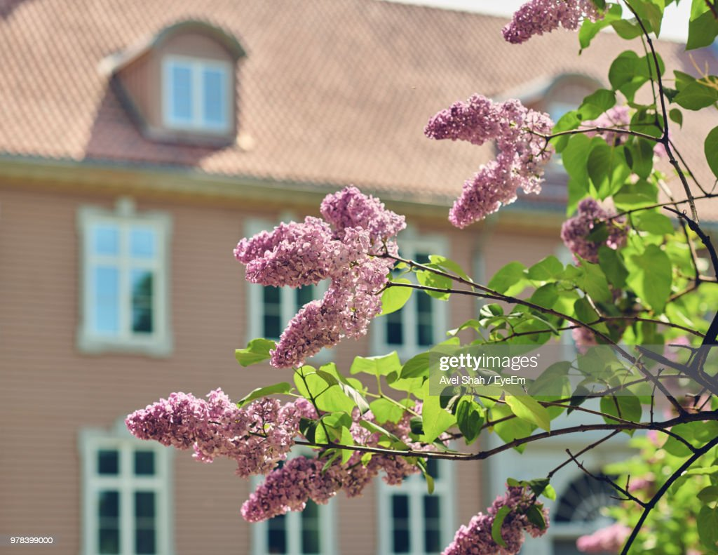 Pink Flowering Plant Against Building : Stock Photo