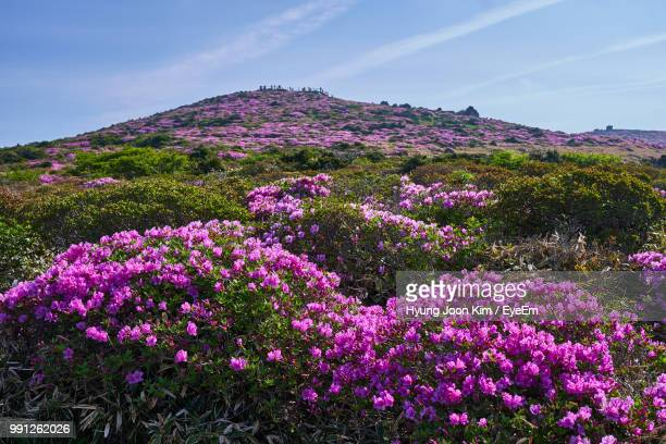 pink flowering plants on land against sky - jeju stock photos and pictures
