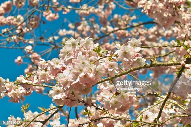 Pink flowering spring cherry Accolade, Prunus serrulata (prunus sargentii x subhirtella accolade), flowers in spring, Bavaria, Germany