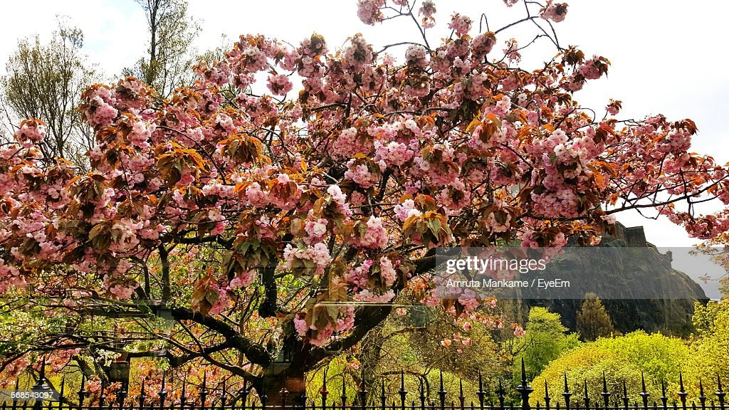 Pink Flowering Tree By Fence In Park : Stock Photo