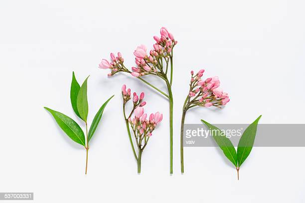 pink flowers and green leaves - bud stock pictures, royalty-free photos & images