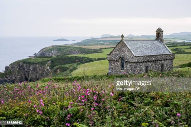 pink flowers and st non's chapel and holy well, st. davids, pembrokeshire coast, wales, united kingdom. - st davids day stock pictures, royalty-free photos & images