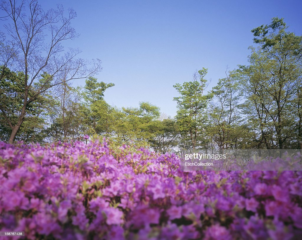 Pink flowers and trees with green spring foliage : Stock-Foto