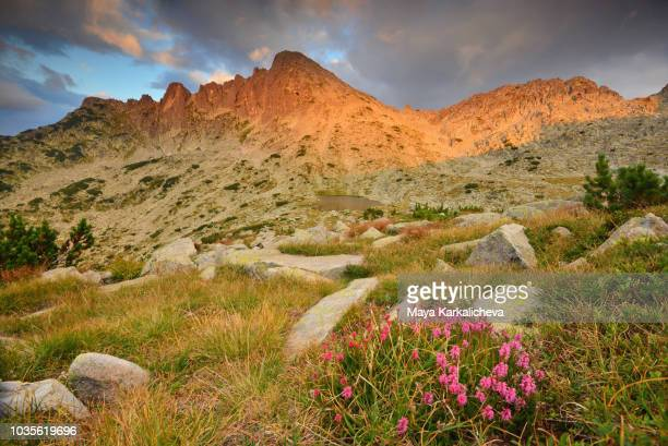 pink flowers at sunset by a mountain peak - pirin mountains stock pictures, royalty-free photos & images