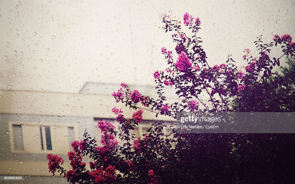Pink Flowers Blooming By Building Seen Through Wet Glass Window On Rainy Day