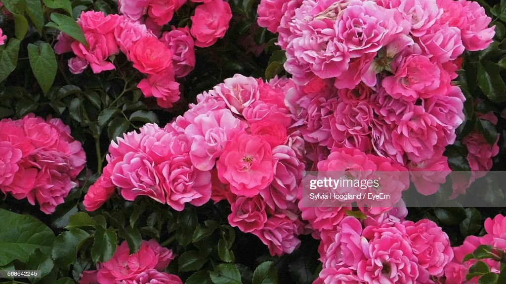 Pink Flowers Blooming In Garden : Stock Photo
