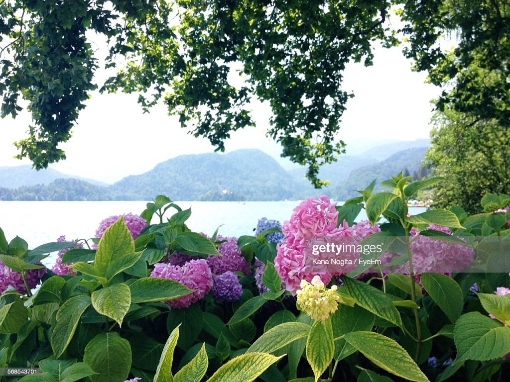 Pink Flowers Blooming In Park Against Lake And Mountains : Stock Photo