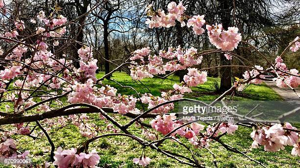 pink flowers blooming on tree - maria tejada stock pictures, royalty-free photos & images