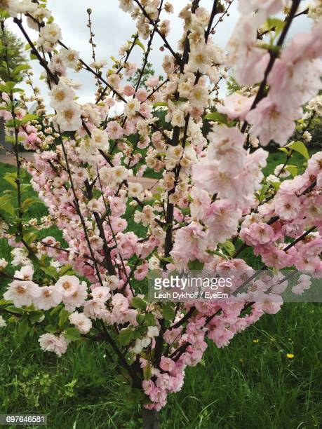 pink flowers blooming on tree - bad homburg stock pictures, royalty-free photos & images