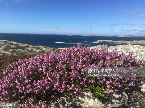 pink flowers growing by sea against sky - christine heather stock pictures, royalty-free photos & images