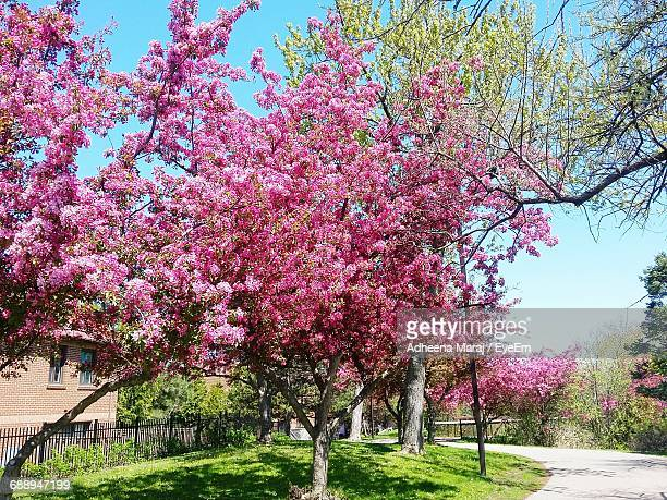 pink flowers growing on tree - mississauga stock pictures, royalty-free photos & images