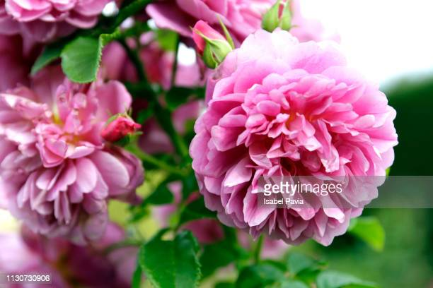 pink flowers in a garden, prague, czech republic - pivoine photos et images de collection