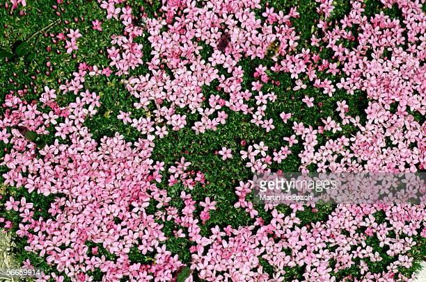 Pink flowers in a meadow