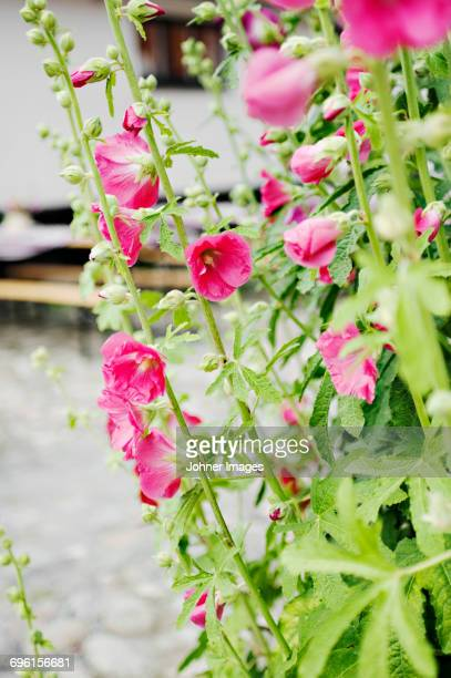 pink flowers in bloom - hollyhock stock pictures, royalty-free photos & images