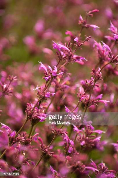 Pink Flowers of Agastache cana Rosita