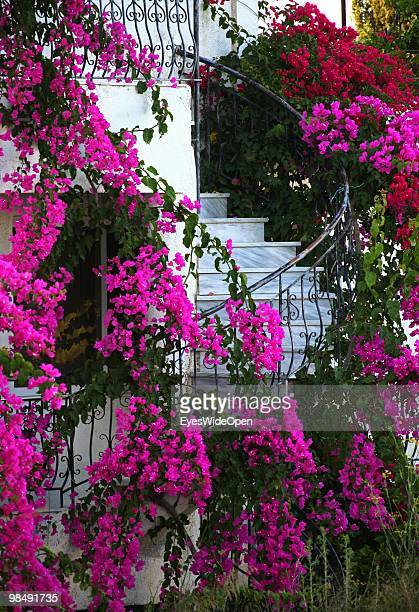 Pink flowers of bougainvillea growing around a staircase on July 26 2009 in Rhodes Greece Rhodes is the largest of the Greek Dodecanes Islands