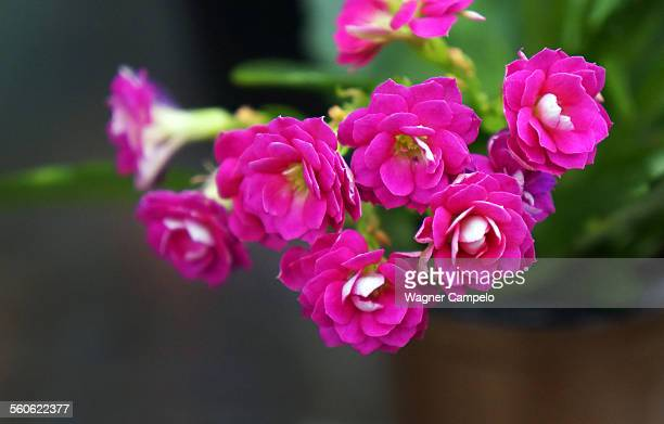 Pink flowers of Kalanchoe plant