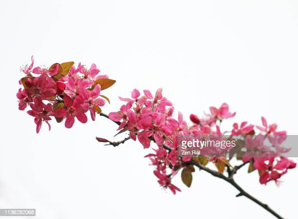 pink flowers on a branch at springtime against white background - crabapple blossoms - crab apple tree stock pictures, royalty-free photos & images