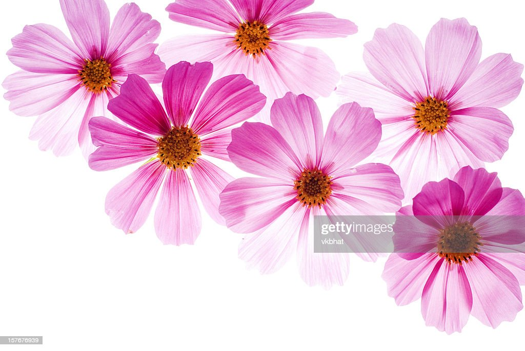 Pink flowers on a bright white background stock photo getty images pink flowers on a bright white background mightylinksfo