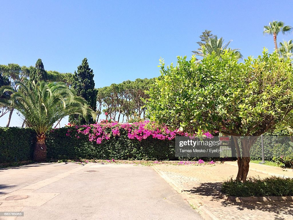 Pink Flowers On Bushes Amidst Trees At Park Against Clear Blue Sky