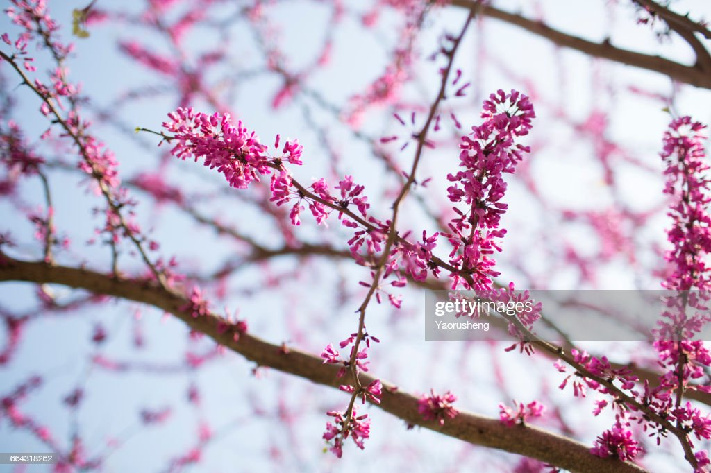 Pink flowers on cercis chinensis or chinese eastern redbud tree pink flowers on cercis chinensis or chinese eastern redbud tree stock photo mightylinksfo