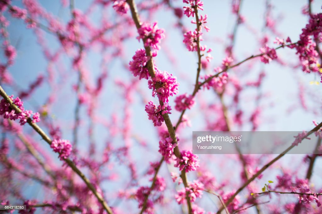 Pink Flowers On Cercis Chinensis Or Chinese Eastern Redbud Tree Stock Photo