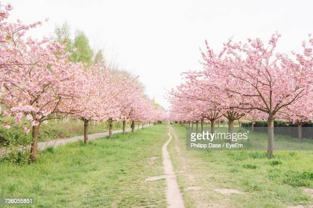 Pink Flowers On Road Amidst Trees Against Clear Sky