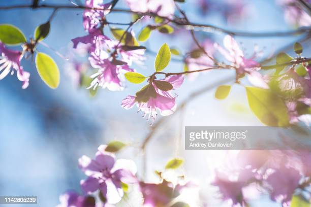 pink flowers on the blue sky background - springtime stock pictures, royalty-free photos & images
