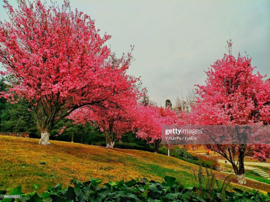 Pink Flowers On Tree During Autumn Stock Photo Getty Images