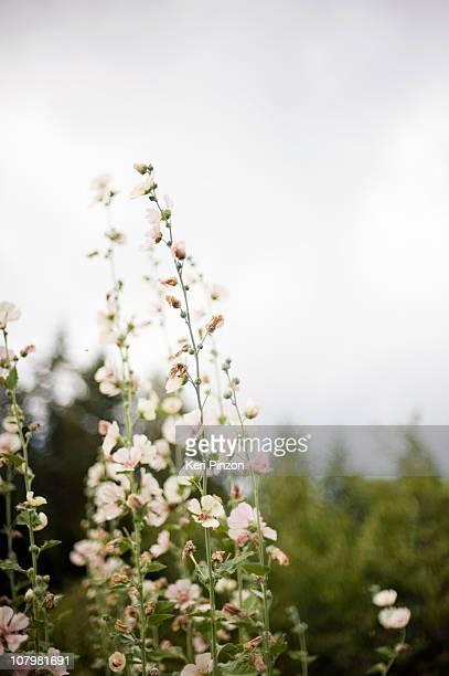 pink flowers - zachtroze stockfoto's en -beelden