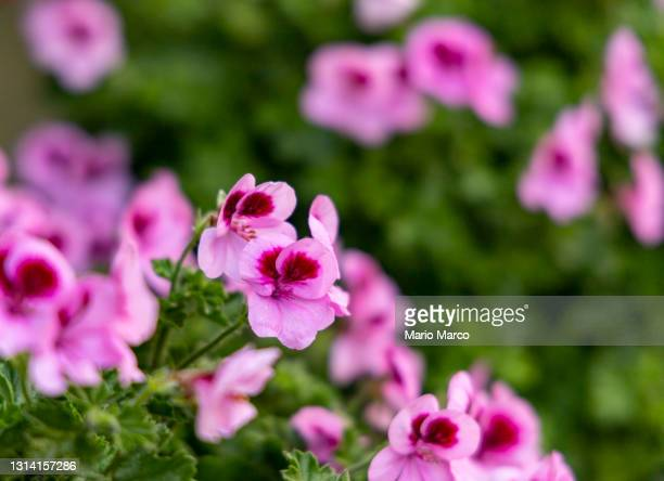 pink flowers - roses catalonia stock pictures, royalty-free photos & images