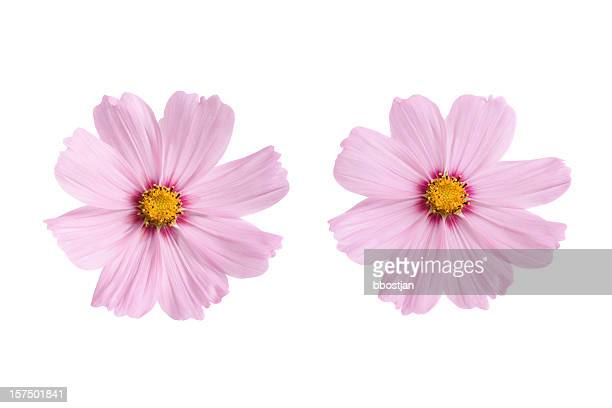 pink flowers - cosmos flower stock photos and pictures