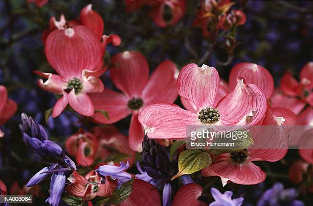 pink flowers - dogwood blossom stock pictures, royalty-free photos & images