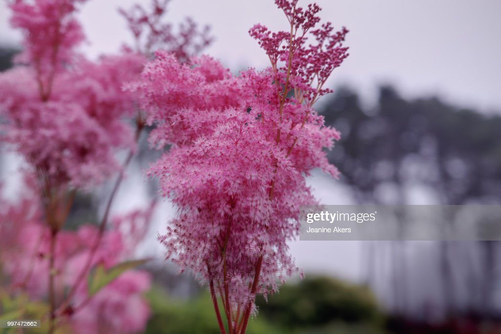 Pink Fluffy Flowers And Trees Stock Foto Getty Images