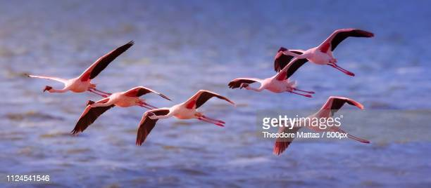 pink freedom - royal tern stock photos and pictures