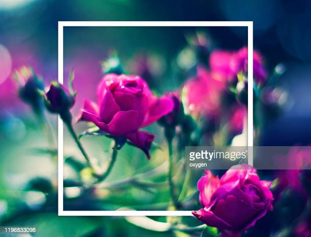 pink fuchsia small roses on soft green blue background white frame - bunch stock pictures, royalty-free photos & images