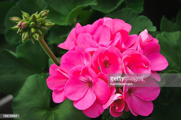 pink geranium blossom - geranium stock pictures, royalty-free photos & images