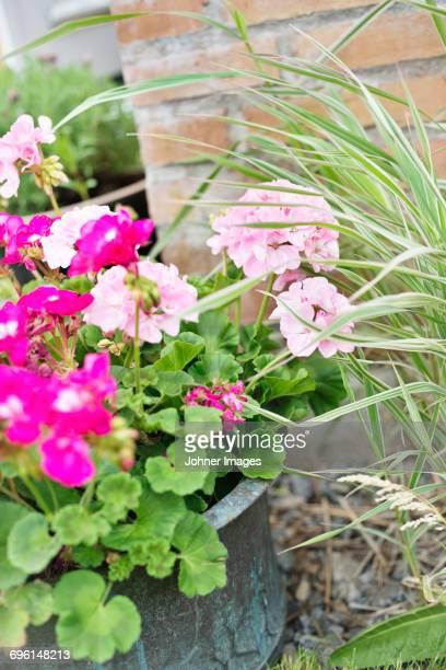 Pink geraniums in pot