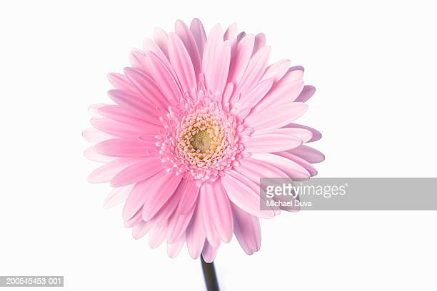 pink gerbera daisy against white background, close-up - gerbera stock pictures, royalty-free photos & images