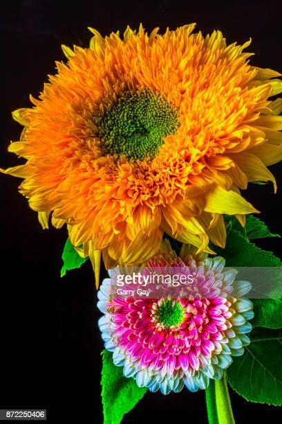 Pink Gerbera Daisy And Sunflower
