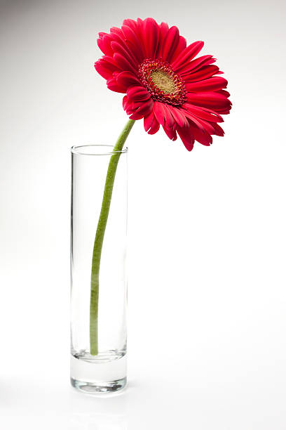 Pink Gerbera Daisy In A Glass Vase Photos