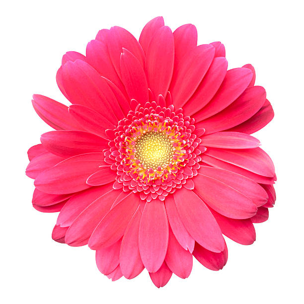 Pink Gerbera Daisy Isolated On White. Wall Art