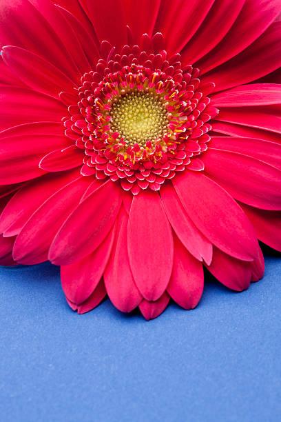 Pink Gerbera Daisy On Blue Background. Wall Art