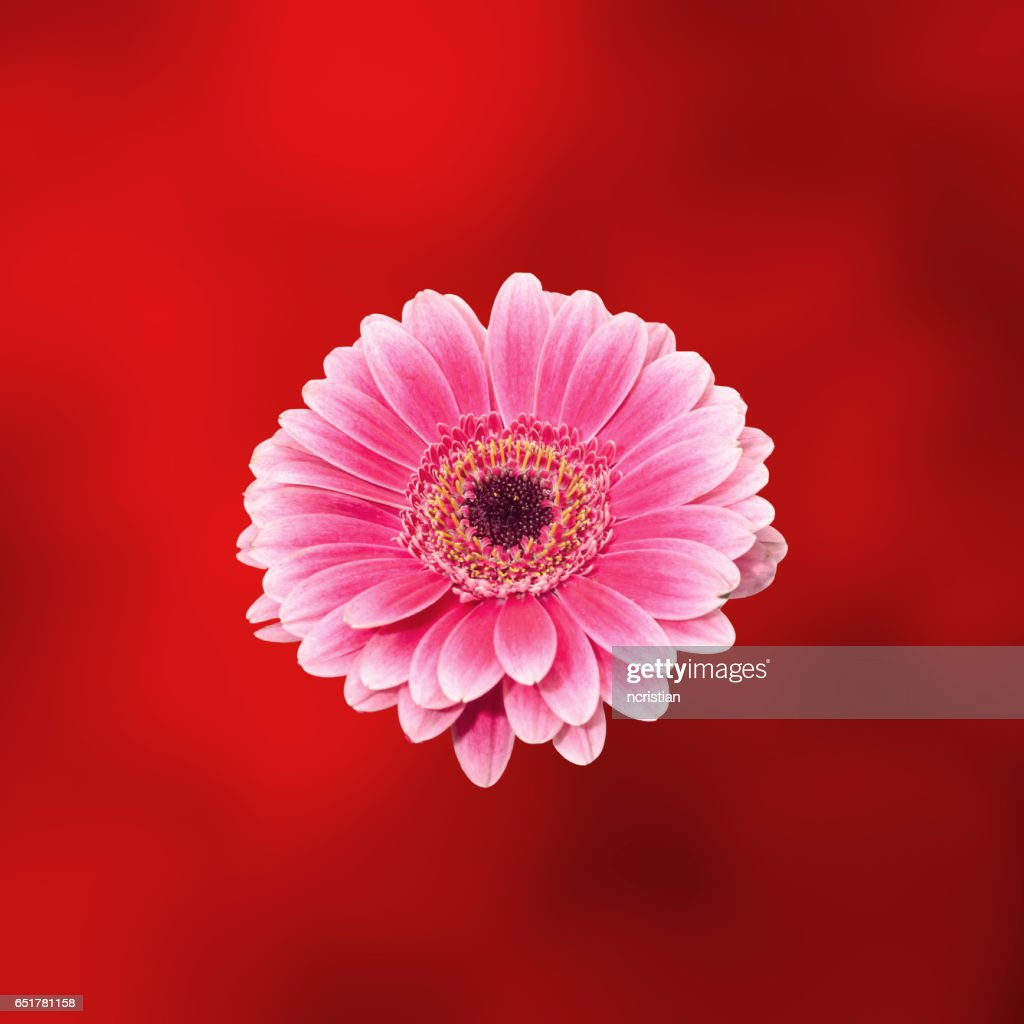 Pink Gerbera Flower Close Up Isolated Gradient Background Stock