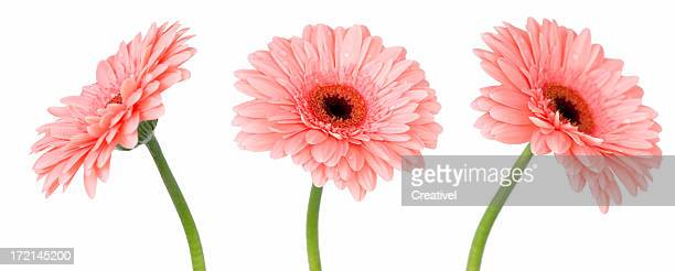 pink gerbera flower from 3 different angles