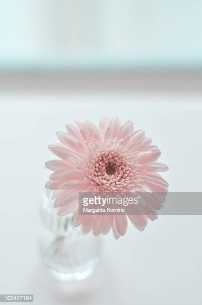 Pink Gerbera in a tiny vase
