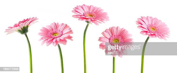 pink gerberas (clipping path) - gerbera daisy stock pictures, royalty-free photos & images
