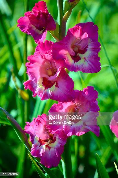pink gladiolus blooming on field - gladiolus stock pictures, royalty-free photos & images